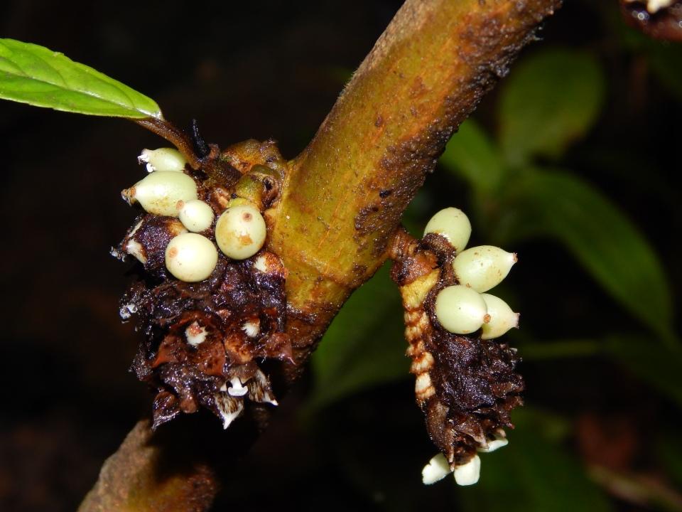 Indeterminate inflorescence of C. cephalophora.